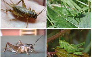 Skillnader cricket och gräshoppa