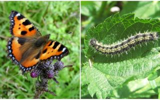 Nettle Caterpillars - Svart Caterpillars On Nettle