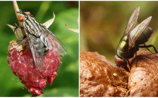 Vad är användningen av flugor
