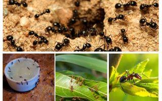 Vilka myror är rädda för