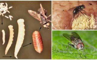 Vad händer om du äter ägg eller flyger larver