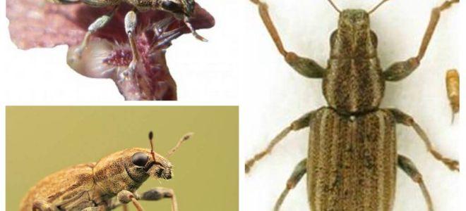 Tuber Weevil - Plågor av baljväxter
