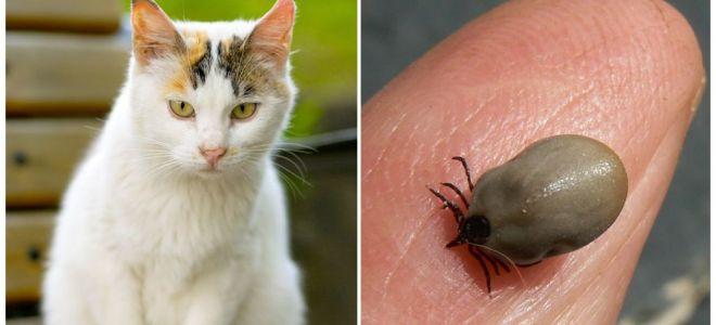 Vad ska man göra om en katt är biten av ett fält