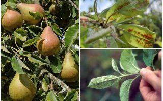 Hur bli av bladluor på päron