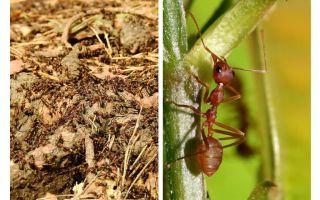 Vad är användbara myror