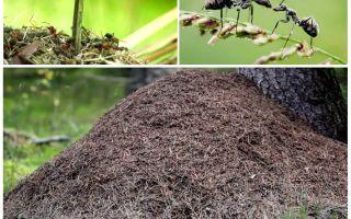 På vilken sida av trädet kommer myrorna att bygga en anthill