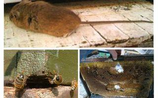 Hur man kör en mus ur bikupan på vintern och sommaren