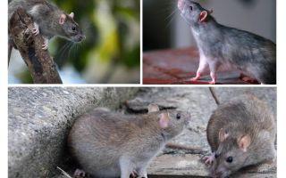 Hur många år har råttor bott
