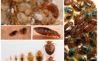 Vad och hur man behandlar kläder och saker från bedbugs