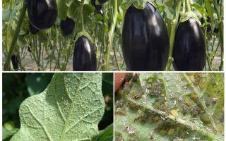 Hur man kämpar hemma med bladlus på aubergine