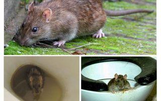 Kan en råtta komma ur toaletten