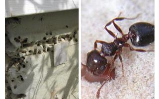 Myror lever i isolering