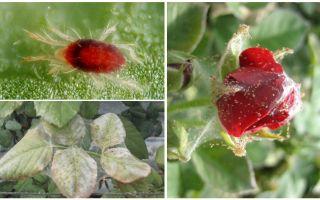 Hur man bearbetar en ros från spindelmyt