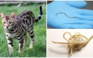 Symptom och behandling av ascariasis hos katter