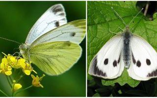 Beskrivning och bilder av larver och kålfjärilar