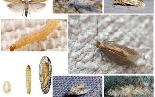 Är moth rädd för frost och kallt