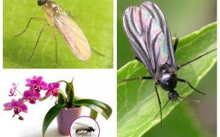 Vad ska man göra om midgerna är uppfödda i orkidéerna