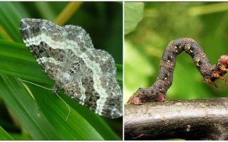 Beskrivning, namn och foto av olika typer av larver