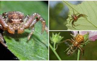 Beskrivning och foto av krabba spindel (icke-isometrisk bokhoda)