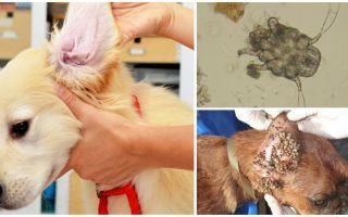 Öronmarkering i hundar