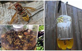 Hemmagjorda fällor för hornetter och häftor