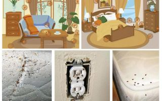 Effektiv kamp med bedbugs i lägenheten