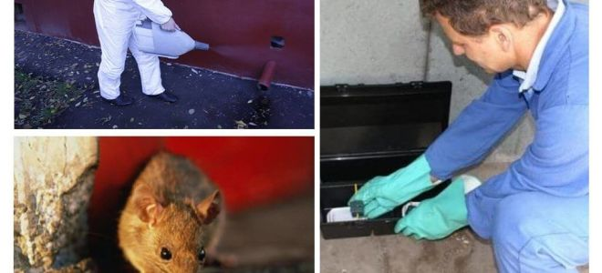 Utrotning av råttor och möss med specialiserade tjänster