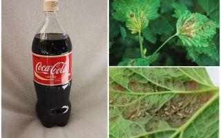 Coca-Cola från bladlusen