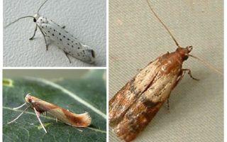 Varför moth har ingen proboscis