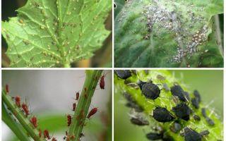 Hur man handskas med bladlöss i trädgården och i folkrättsgården