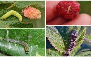 Hur bli av med larver på hallon