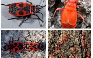 Soldatens insekt (röd vingefri vingefri)