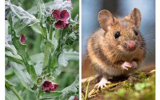 Växt svart rot från möss