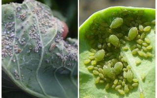 Hur och vad man ska behandla bladlus på kål