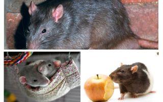 Intressanta råttfakta