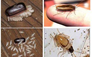 Hur man odlar inhemska kackerlackor