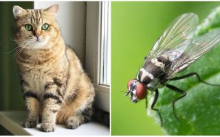 Vad ska man göra om en katt eller en katt åt en fluga