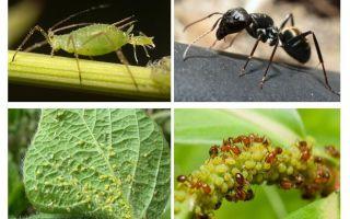 Typ av förhållande mellan myror och bladlöss