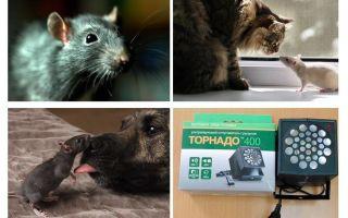 Vad är råttor och möss rädda för?