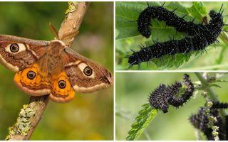 Beskrivning och foto av påfågelens larv