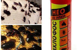 Hjälper dichlorvos från kackerlackor - hur man förgiftar