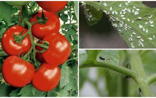 Hur man behandlar tomater från vita och svarta flugor