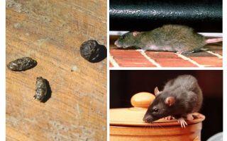 Hur man hanterar råttor i lägenheten