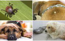 Symtom och behandling av piroplasmos hos hundar