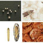 Moths och malägg