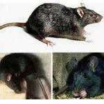 Svart råtta