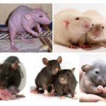 Dekorativa råttor