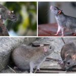Vilda råttor