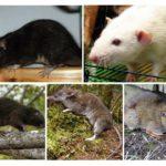 Råttsorter