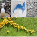Att förstöra bladlusen genom folkmedicin